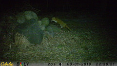 Red Fox - 03-01-2019 (blazer8696) Tags: 2019 bigtreerock brookfield ct connecticut ecw obtusehill stumptrailrock t2019 usa unitedstates camera game trail trap fox imag0447 red redfox vulpes vulpesvulpes