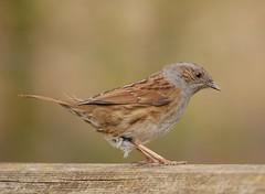 Dunnock (PhotoLoonie) Tags: dunnock bird wildlife avian nature