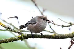 Psaltriparus minimus ♂ (Bushtit) - Everett, WA (Nick Dean1) Tags: bushtit passeriformes psaltriparusminimus animalia chordata aves thewonderfulworldofbirds
