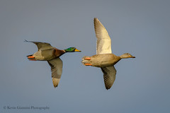 Mallards (Kevin James54) Tags: anasplatyrhynchos carolinabeach carolinabeachlake mallard nikond850 tamron150600mm wilmington animals avian bird duck kevingianniniphotocom