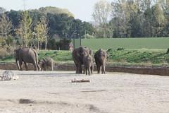Asian elephant at Pairi Daiza 2018-10-14 (kuromimi64) Tags: pairidaiza zoo 動物園 brugelette ブリュージュレット hainaut エノー belgium ベルギー belgique belgië europe ヨーロッパ elephant ゾウ 象 asianelephant アジアゾウ
