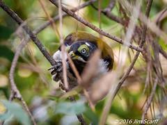 Blue-faced Honeyeater (juvenile) (Jim Scarff) Tags: australianbirds bluefacedhoneyeater entomyzoncyanotis honeyeaters passerines juvenile eagleby queensland australia geo:lon=15322977222222 exif:lens=ef100400mmf4556lisiiusm14xiii camera:model=canoneos7dmarkii camera:make=canon geo:country=australia geo:state=queensland geo:city=eagleby exif:isospeed=800 exif:focallength=280mm geo:location=eaglebywetlands exif:model=canoneos7dmarkii geo:lat=27711411111112 exif:aperture=ƒ80 exif:make=canon