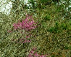 DILO - March 20 2019 Equinox (8) (tommaync) Tags: dilomar2019 equinox spring 2019 march nikon d7500 northcarolina nc dilo nature redbuds blooms trees chapelhill
