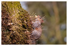 What's a few prickles when you have  a tasty nut? (Different Aspects) Tags: smileonsaturday pricklesandco greysquirrel tree animal