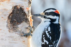 Pic chevelu mâle - Male Hairy Woodpecker (Gilbert Rolland) Tags: gilbertrolland hairywoodpecker picchevelu hiver winter