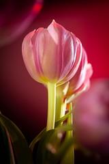 Shining red tulips 🌷 (Martin Bärtges) Tags: naturephotography naturfotografie natur nature indoors nebelmaschine dunst nebel fog farbenfroh colorful rot red nikonphotography nikonfotografie d4 nikon studiophotography studio flowers blumen blüten tulips tulpen