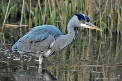 Héron cendré (Ardea cinerea) (91) (Didier Schürch) Tags: nature eau lac animal oiseau échassier héron ardeacinerea ngc