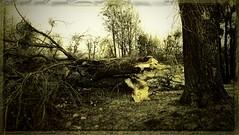 Sturmschaden am Baum (einfache Fotomomente) Tags: naturgewaltensturmwindorkan baumschaden olympus tg5 ƒ20 45 mm 1100 100