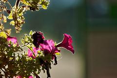 La trompette pourpre - The purple trumpet (p.franche busy - occupé) Tags: fleur flower macro nature bokeh sony sonyalpha65 dxo photolab bruxelles brussel brussels belgium belgique belgïe europe pfranche pascalfranche schaerbeek schaarbeek automne pourpre vert couleur jardin sauvage plante pétunia contrejour pétale corolle autumn purple green color garden wild plant petunia backlit petal corolla blume 花 blomst flor פרח virág bunga bláth blóm bloem kwiat цветок kvetina blomma květina ดอกไม้ hoa زهرة