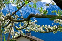 Spring Branch, Telfs, Tirol (elzbietafazel) Tags: branches flowers spring background closeup color plant nature petal nice pretty romantic garden colour day environment floral flower leaf blooming blur blossom white blue mountains alps austria tyrol telfs