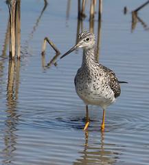 F_031719b (Eric C. Reuter) Tags: birds birding nature widlife nj forsythe nwr march 2019 refuge 031719