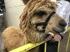Samba the alpaca (f l a m i n g o) Tags: alpaca show competition animal cute