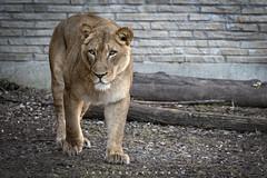 Lioness 2019 (John Hoadley) Tags: lion buffalo newyork zoo 2019 march canon eosr 70200 f4 iso800 buffalozoo animal