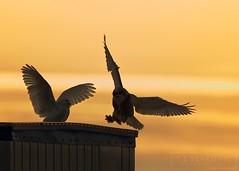 Property Dispute (T L Sepkovic) Tags: snowyowl owls action raptors birdsofprey wildlifephotography sunset silhouette sky orange canonusa 5dmkiv lenscoat