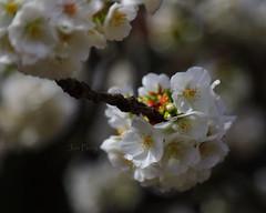 _T6A5591REWS Sweetness of Spring, © Jon Perry, 18-3-19 zbp (Jon Perry - Enlightenshade) Tags: jonperry enlightenshade arranginglightcom 18319 20190318 blossom blossoms cherry cherryblossoms actongreen w4