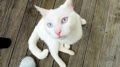 Cats (Sandy Austin) Tags: panasoniclumixdmcfz70 sandyaustin massey westauckland auckland northisland newzealand cat white