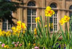 Gelbe Narzisse (KaAuenwasser) Tags: narcissuspseudonarcissus gelbenarzisse osterglocke gelb botanischergarten karlsruhe pflanze blüten blüte beet anlage garten park gebäude fenster stein orangerie weg blumen blume frühling sony ilce7rm3