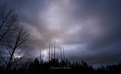 Crows, Clouds and Naked Trees (jeanmarie's photography) Tags: jeanmarieshelton clouds cottagelake cloudy winter crow bird trees silhouette sky moody morning lowkey dark