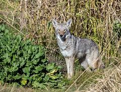 Coyote (Ed Sivon) Tags: america canon nature lasvegas wildlife western wild southwest desert clarkcounty vegas flickr henderson nevada