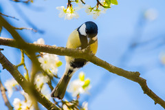 Great Tit (Mikon Walters) Tags: great tit uk england britain united kingdom west midlands sigma 150600mm contemporary super zoom lens photography small bird birds animal animals creature living things nature wildlife wild life outdoors yellow blue black white branch tree