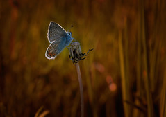 My Day tomorrow ( Please read ) (♥ ⊱ ╮Juergen~ Off for some days╭ ⊰ ♥) Tags: wildlife commonblue meadow butterfly nature