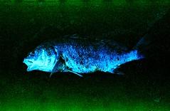 Dead Fish, Lake Ontario (Connor Simon) Tags: canon a1 fuji color scan