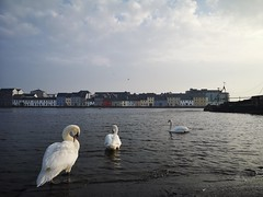 Three Swans (mcginley2012) Tags: claddagh swan three muteswan galway ireland bird nature morninglight