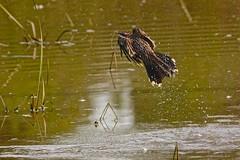 Red Wattlebird (Rodger1943) Tags: wattlebirds redwattlebird australianbirds sonyrx10m4 birdsinflight faunainmotion