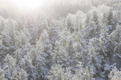 Snowy forest (Keartona) Tags: tintwistle glossop derbyshire england pennines hills snowy snow winter landscape january morning beautiful nature trees looking down aerial view tree tops sunlight sunny