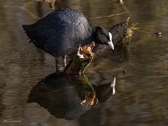 Spiegelbild... (wernerlohmanns) Tags: kranichvogel blässralle blässhuhn blesshuhn blessralle wildlife wasservögel outdoor natur naturpark nabu nsg nikond750 d750 deutschland vögel
