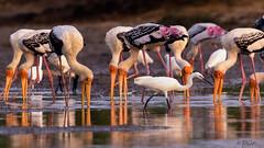 Community feast. . . (Rakesh Kumar Dogra) Tags: rakeshkumardogra wetland painted stork mycteria leucocephala feeding avifauna birdsofindia birdphotography pulicatbirdsanctuary pulicat tamron150600g2 tamilnadu