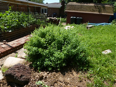 P1080945 (LPompey) Tags: garden strawbale lemonbalm strawbalegarden gardening