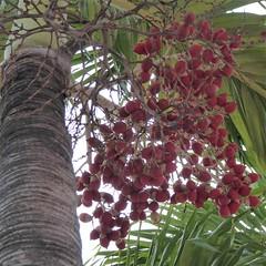 Nassau, Bahamas, Day 3 -- Caribbean Cruise Vacation, Palm Tree Fruit (Dates?) (Mary Warren 12.4+ Million Views) Tags: bahamas nassau carribeancruise hollandamerica vacation nature flora plant tree palmtree red fruit