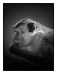 Toque Macaque (wwarby) Tags: berlin berlinzoo germany toquemacaque abroad animal blackandwhite bordered captivity favourites holiday holiday2018berlin indoors macaque mammal monkey primate vacation wildlife zoo