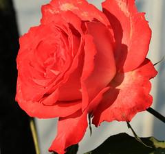 Smile on Saturday - Rose is a Rose (Ramunė Vakarė) Tags: smileonsaturday roseisarose flower nature lithuania eičiai ramunėvakarė