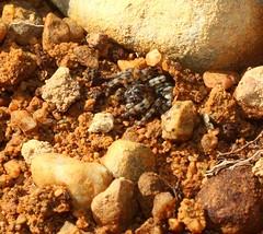 sand bear arctosa perita lycosidae (BSCG (Badenoch and Strathspey Conservation Group)) Tags: acm arachnid spider lycosidae february sand arctosa bear sunshine