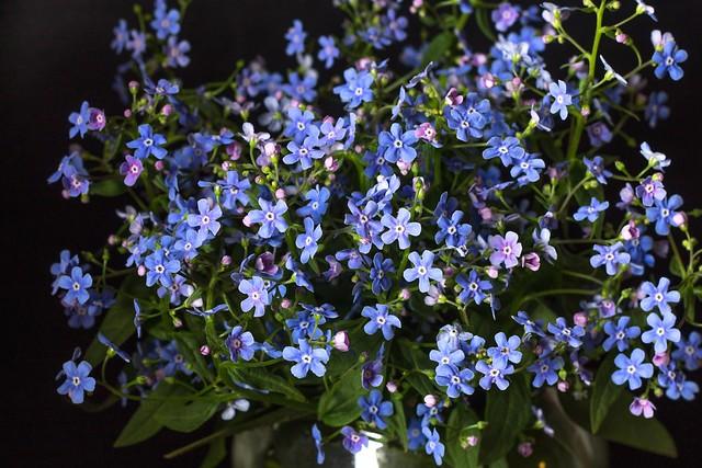 Обои макро, голубой, незабудки картинки на рабочий стол, раздел цветы - скачать