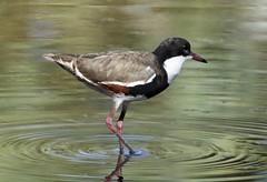 Red-kneed Dotterel (Erythrogonus cinctus) (iainrmacaulay) Tags: bird australia redkneed dotterel erythrogonys cinctus