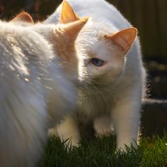 Gossiping (FocusPocus Photography) Tags: filou tofu dragon katze kater cat chat gato tier animal haustier pet freunde friends gespräch conversation begegnung encounter