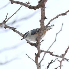 069. Nuthatch (Misty Garrick) Tags: arboretum universityofminnesotalandscapearboretum landscapearboretum flowershow bird birds birding