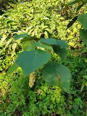 Mallotus barbatus Müll.Arg. Euphorbiaceae ตองเต้า (SierraSunrise) Tags: esarn euphorbiaceae fruit isaan nongkhai phonphisai plants thailand trees
