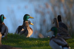 Ducks lounging at Lake Merced, California (jamestapatio) Tags: