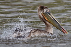 Brown Pelican, splashing wings, Malibu Lagoon, CA CQ4A4094 (Hart Walter) Tags: malibulagoon legacypark royaltern brownpelican grayplover marbledgodwin
