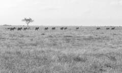 Follow the leader (igor29768) Tags: zebras harem herd aligned line crossing tsavo kenya africa panasonic lumix gx7 425mm bw