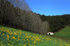 Shed 5 (Girt By Sea) Tags: tinshed corrugatediron oldshed rustedshed australianicon farmland farminfrastructure agriculture dandelions flowers floriculture thedandenongs victoria ruralaustralia landscapephotography