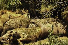 Hyenas having a feast eating an dead hippo (viliris) Tags: crocutacrocuta hippo carrion cadaver eating herd wildanimals masaimaranationalreservekenya masaimaranationalparkkenya africa kenya safari hyena