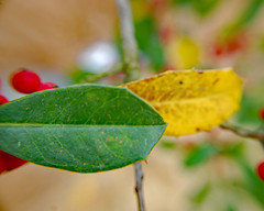Green Leaf, Yellow Leaf, Red Berries. (dccradio) Tags: lumberton nc northcarolina robesoncounty outdoor outdoors outside berry berries redberry redberries leaf leaves colorful nature natural holly fostersholly plant foliage greenery nikon d40 dslr march spring springtime sunday sundayafternoon goodafternoon afternoon bokeh
