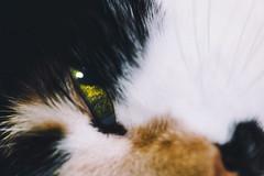 Лилу (donnicky) Tags: cat closeup domesticanimal home looking lookingatcamera oneanimal pet publicsec лилу
