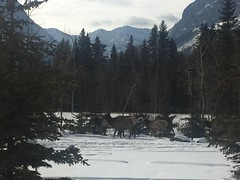 htmt .... (Mr. Happy Face - Peace :)) Tags: canmore alberta canada elk wild snow albertabound rockies tree forest htmt