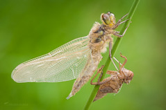 Libellula quadrimaculata (Michal Kukla) Tags: dragonfly emerging insect libellula macro wildlife life nature green wings poland macrophotography nikon tamron natural light